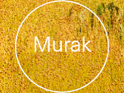 Murak_SZUM 3